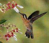 Beija-flor ou colibri